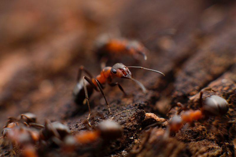 Hormigas rojas asesinas