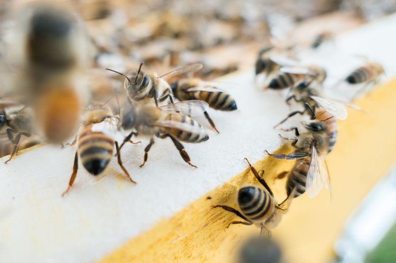 Grupo de abejas hembras