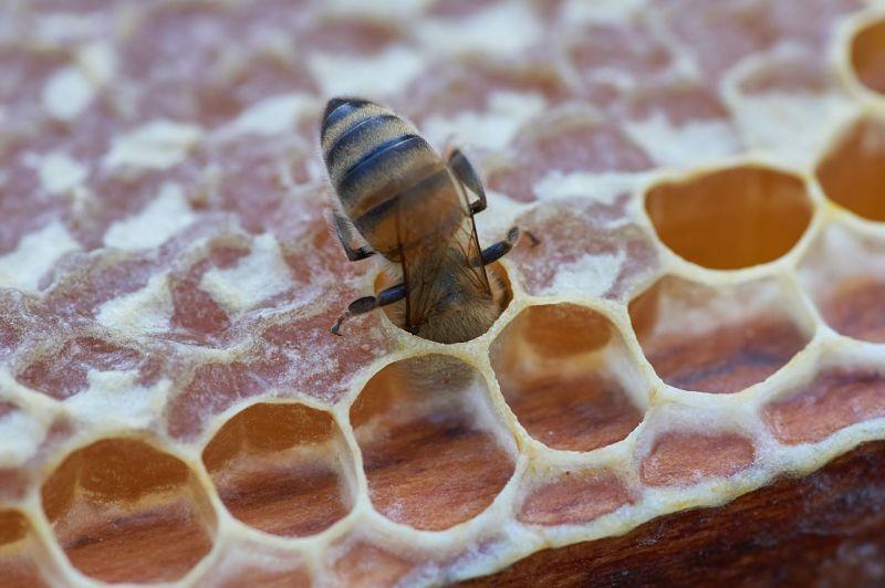 Abeja produciendo miel