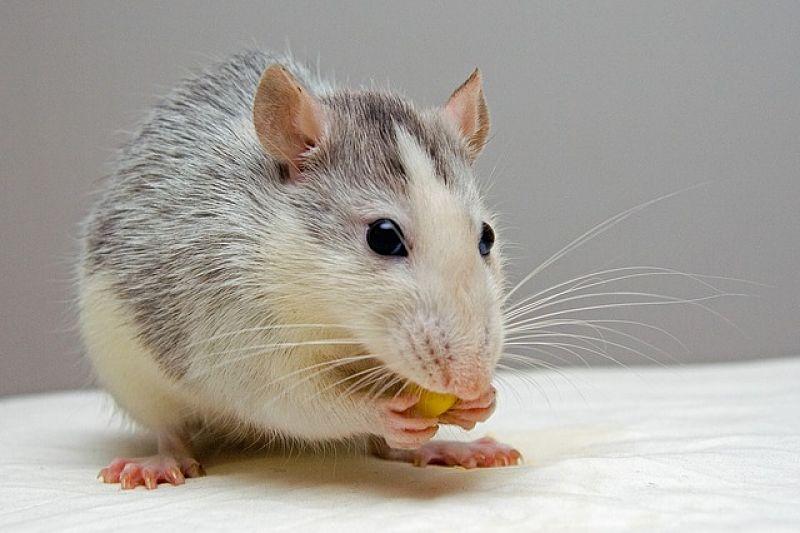 Rata roedor
